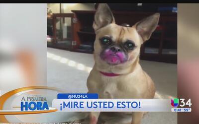 ¡Perrito quiso lucir un pintalabios rosado!