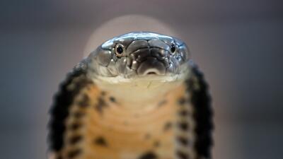 Una cobra real abre su 'capucha' para espantar a cualquier amenaza.