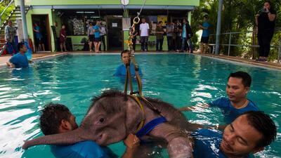 Usan hidroterapia para rehabilitar a bebé elefante en Tailandia