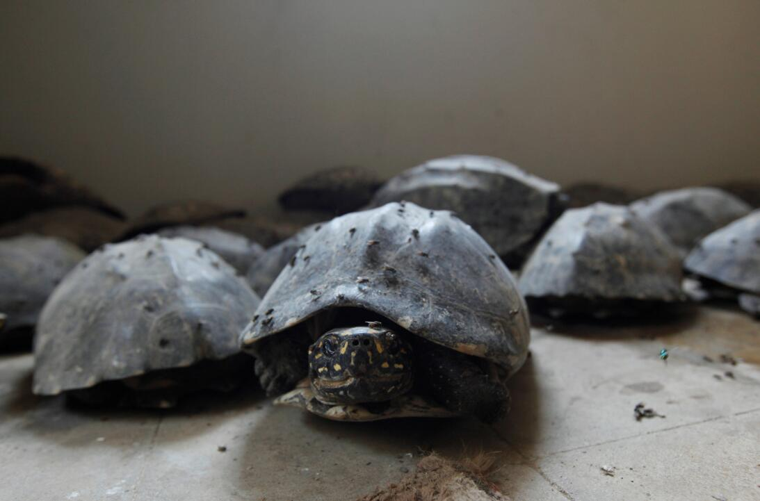 Black spotted freshwater turtles are pictured after they were seized in...