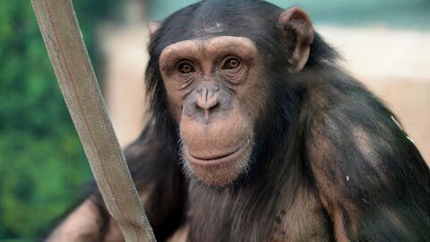 Corte concluye que chimpancés no merecen los mismos derechos que las per...