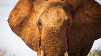 La organización CITES denunció la cifra récord de 25,000 elefantes muert...