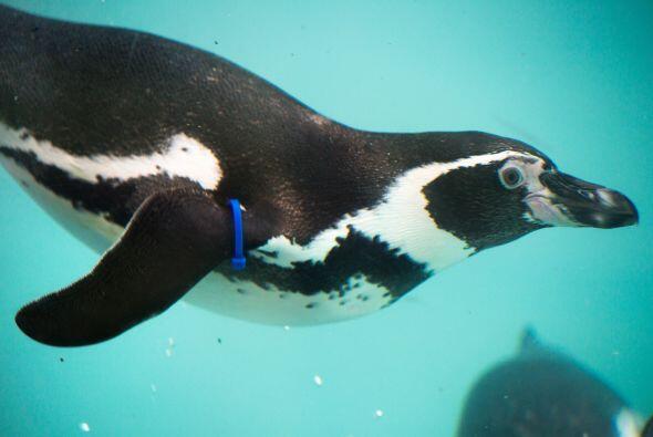 Conoce a Slippy un simpático pingüino hembra  que est&aacute...