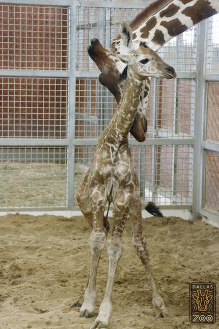 Dan la bienvenida a una jirafa en el zoológico de Dallas World-famous gi...