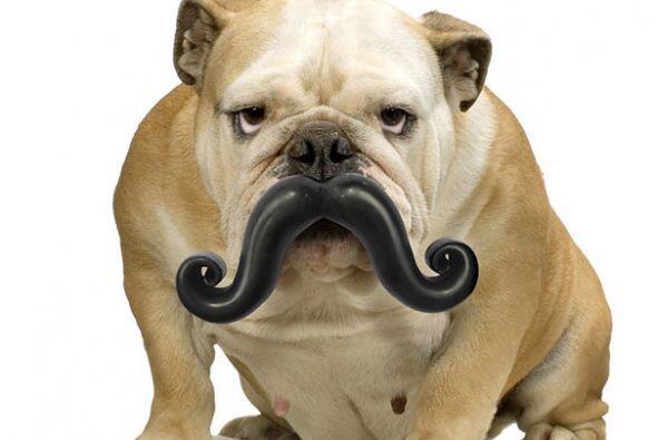 Es el bigote perruno más elegante del mundo.