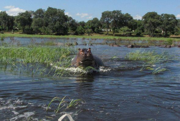 Este curioso hipopótamo estaba teniendo un día bastante agitado.