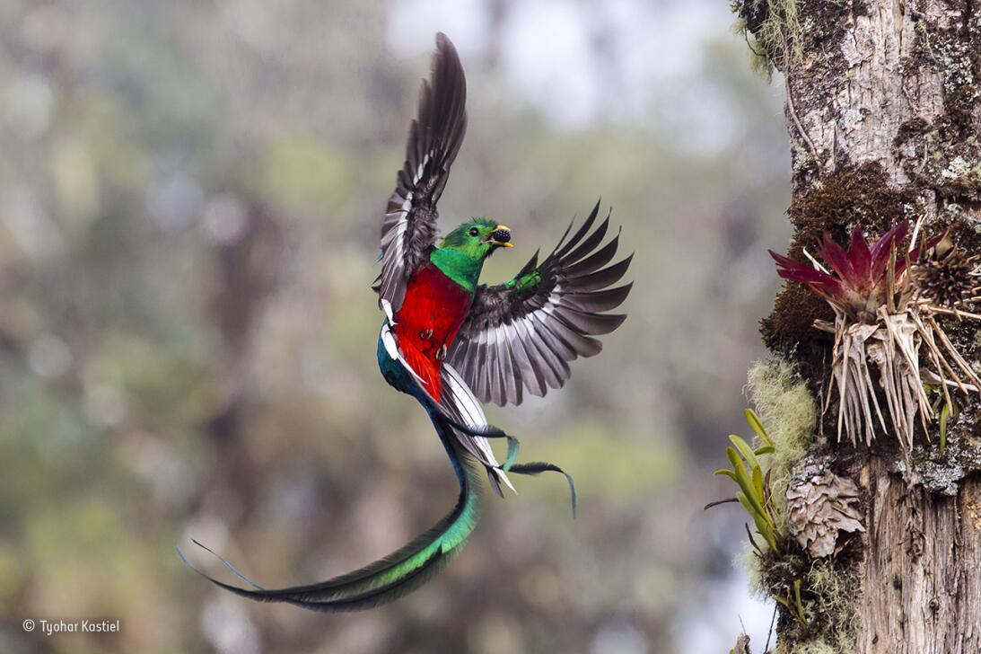 Envío resplandeciente. Un quetzal macho trae alimento a sus pichones que...