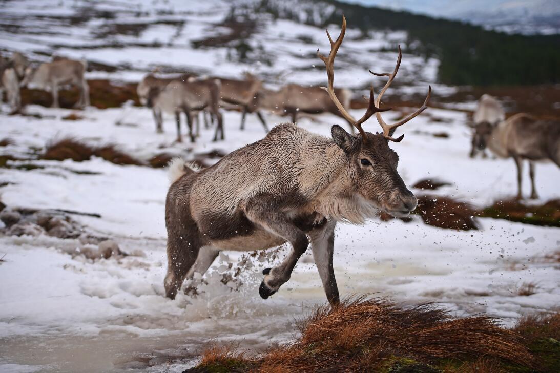 Qué dice la ciencia sobre la nariz roja del reno Rodolfo GettyImages-460...