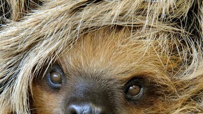 Los perezosos: esas criaturas que viven a 0.25 millas por hora
