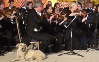 Un perro callejero se cuela en la presentación de una orquesta filarmóni...