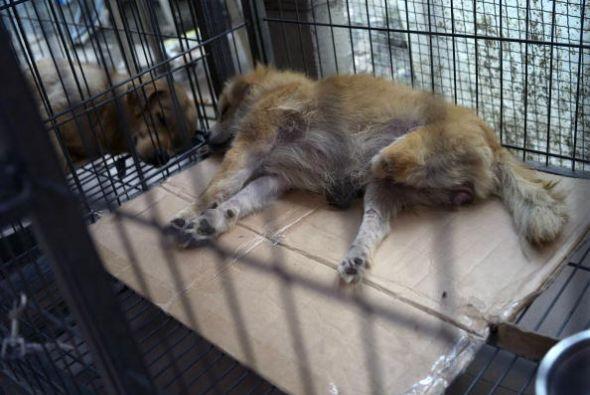 Por lo regular la mayoría de los perros que están en los refugios son ad...