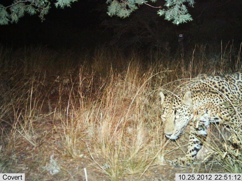 Juez federal mantiene protección a los jaguares en el suroeste de Estado...