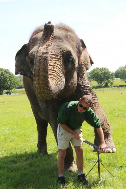 Los elefantes cuentan con cinco dedos  en sus dos patas delanteras, y cu...
