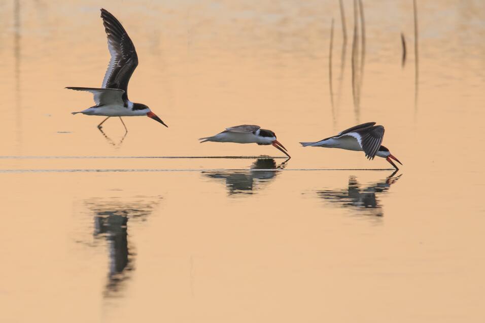 'Rayadores trabajando'. Tres pájaros Rayadores alimentándo...