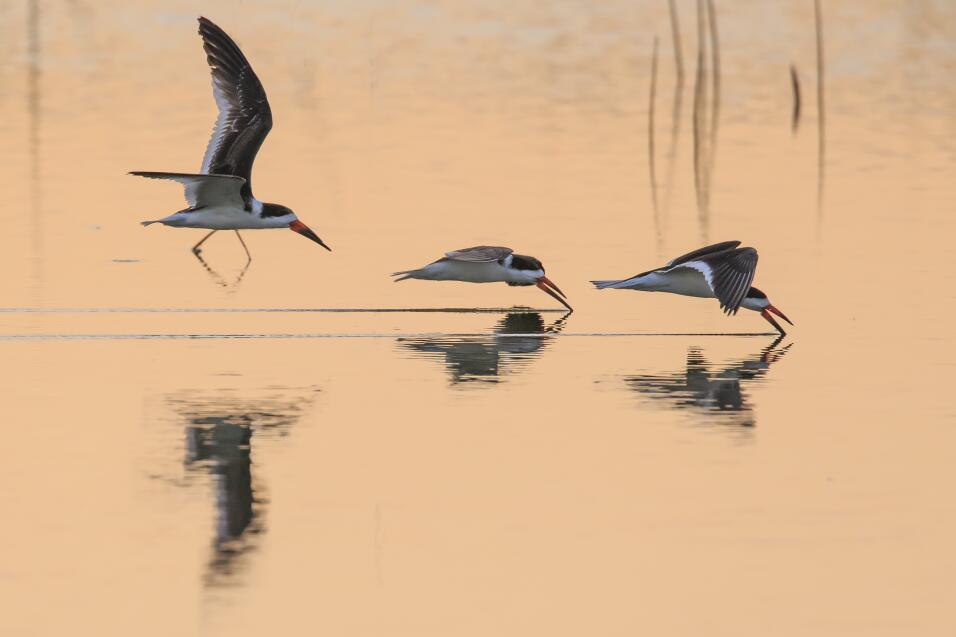 'Rayadores trabajando'. Tres pájaros Rayadores alimentándose al vuelo. I...