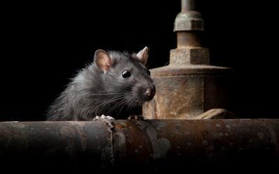 Los estudiantes pasaron todo un verano analizando a los roedores desde I...