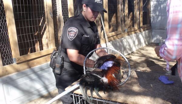La Policía de Fontana detuvo a un organizador de peleas y aseguró 30 aves.