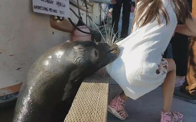 El impresionante momento en que un león marino arrastra a una niña hacia...