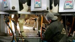 Trabajadores de la industria de lácteos estarían trabajando en condicion...