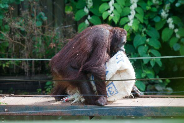 Esta hembra orangután utilizó un saco de café como su nueva ropa.