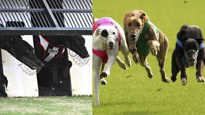 Prohíben carreras de perros en Florida y ahora hay que ver que pasará con estos animales