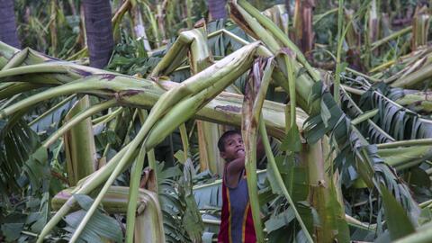 Plantío de plátano afectado por Patricia
