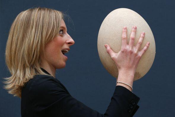 El huevo subfosilizado, cuyo nombre científico es aepyornis maximus y qu...