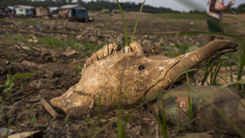 La cabeza de un animal afectado por la sequía en Brasil.