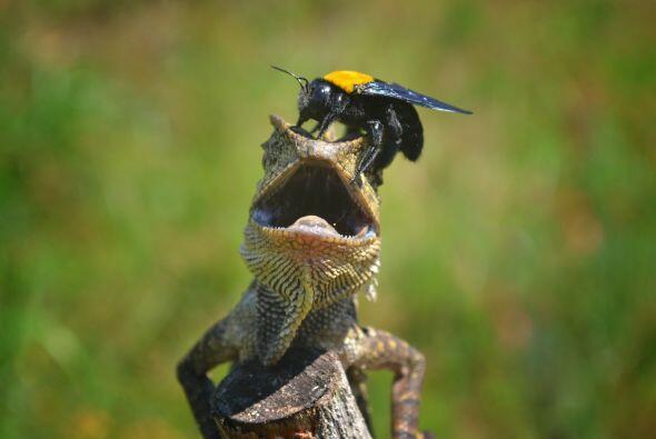 Una amistad rara se dio entre esta abeja y el lagarto,