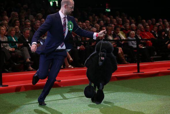 El Crufts Dog Show es concurso de habilidad más antiguo e importante en...