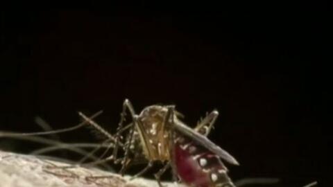 'Los Ángeles en un Minuto': hallan en Long Beach el mosquito transmisor...
