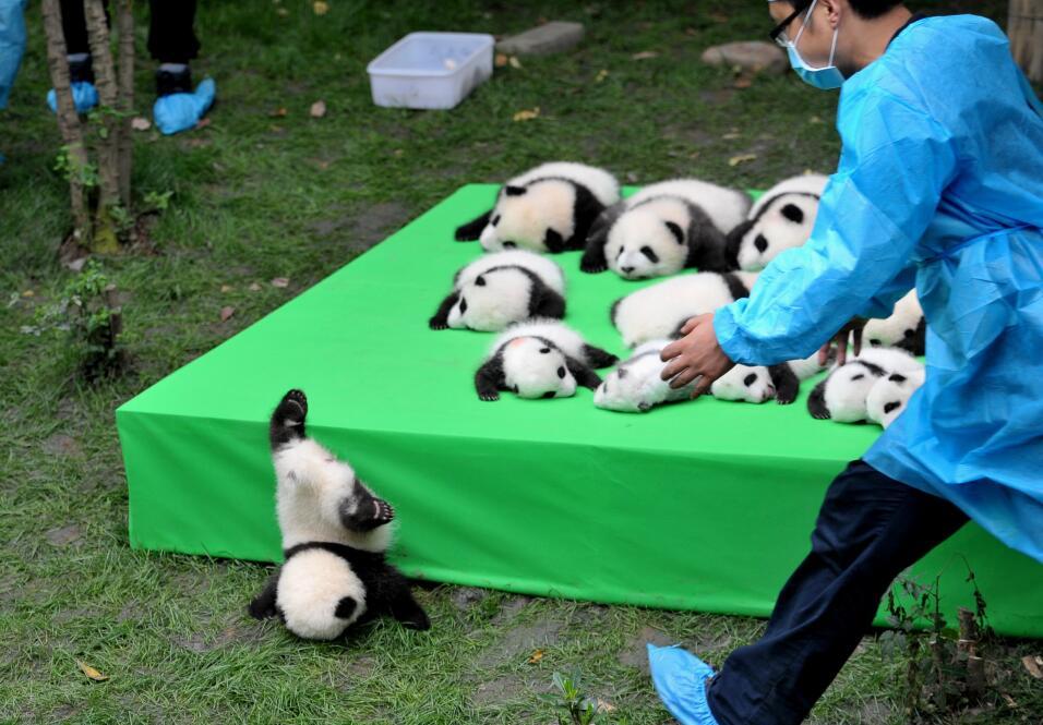 Panda cachorro cae en China