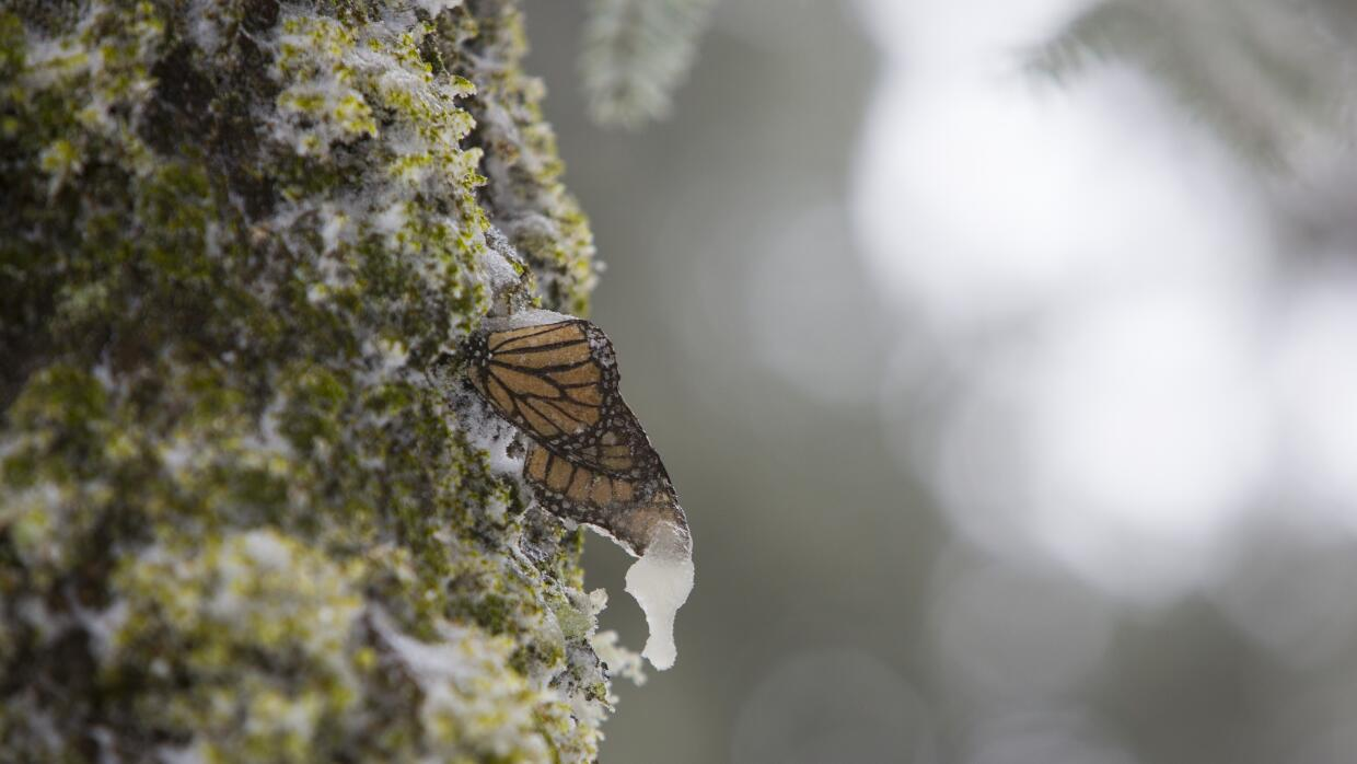 A migrating butterfly confronts the great snowstorm in Mexico MARIPOSA_0...