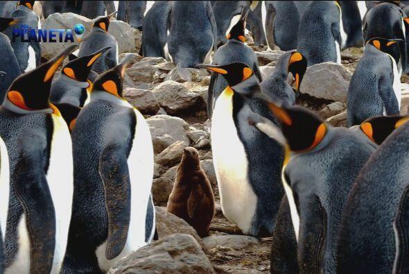 Los machos son quienes cuidan a los polluelos mientras las hembras busca...