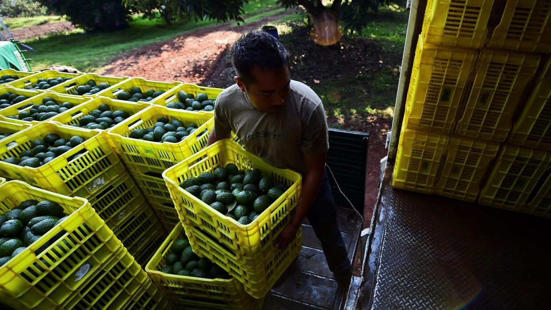 Un trabajador del campo carga un camión en Uruapan, en el estado de Mich...