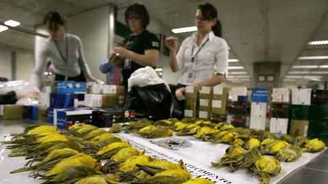 Un cargamento de canarios peruanos con destino Sao Paulo, Brasil, es int...