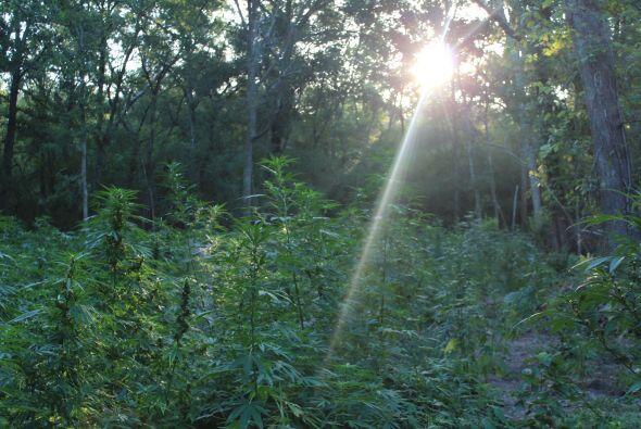 Encuentran gran plantación de marihuana en Conroe