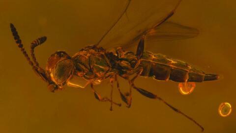 La nueva avispa Polvo de Estrellas (Archaeoteleia astropulvis) conservad...