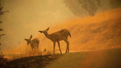Fotos: El sufrimiento de los animales por los devastadores incendios que consumen California