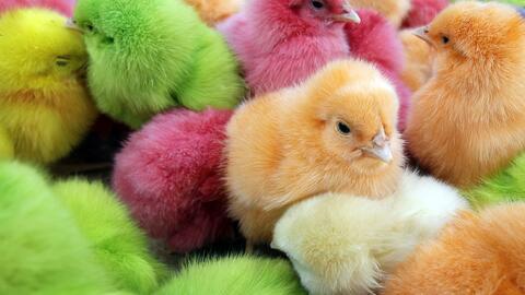 Pollitos de colores