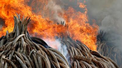 Kenia realiza la mayor quema de marfil confiscado de la historia
