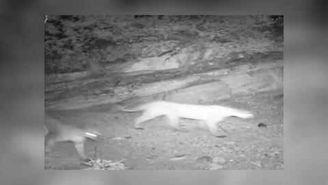 Una leona de montaña camina junto a sus crías frente a una...