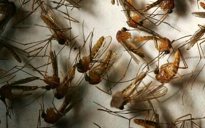 Mosquitos atrapados en el valle de San Gabriel dan positivo en el virus...