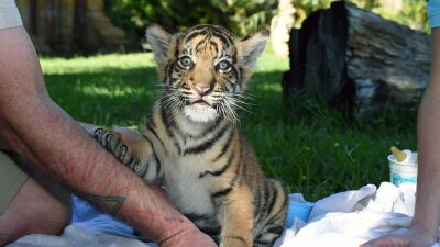 Zoológico de Miami presentará a tigre de Sumatra