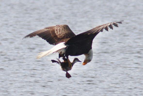 ¡El pato zambullidor grande se convirtió en la cena del águila y sus crías!