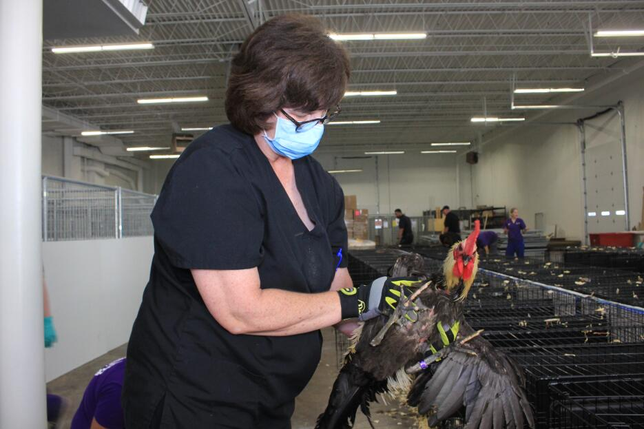 Más de 60 gallos y gallinas fueron rescatados en Texas  IMG_9231.JPG