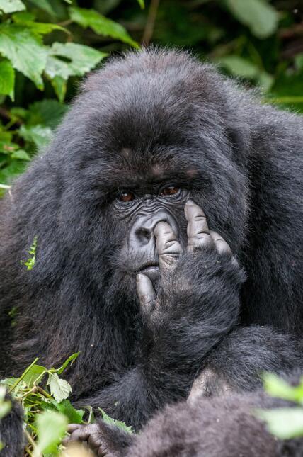 Y el tercer puesto del concurso fue para el gorila atrevido.