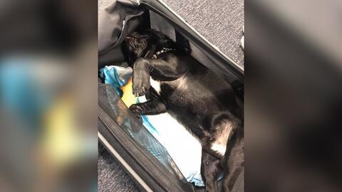 Un cachorro de 10 meses murió en un vuelo de United de Houston a...