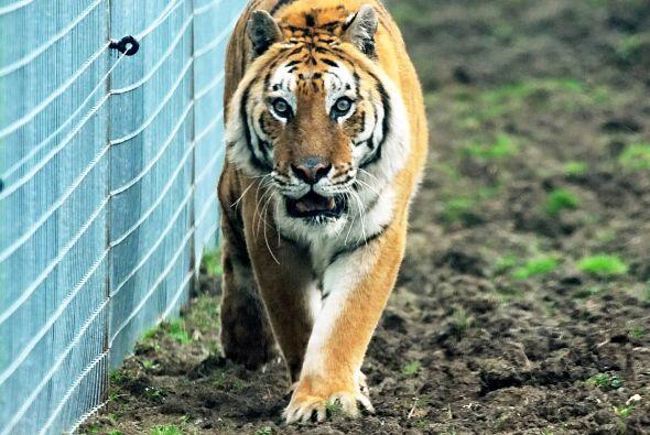 Ahí fue maltratado junto con otro tigre más pequeño y ambos vivían en mu...