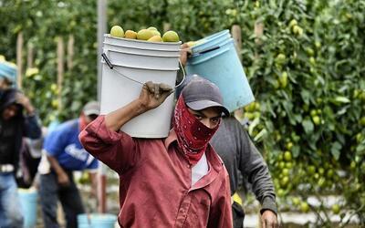 El programa H-2A otorga cada año 66,000 visas a trabajadores agr&...